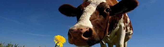 Корова с цветком